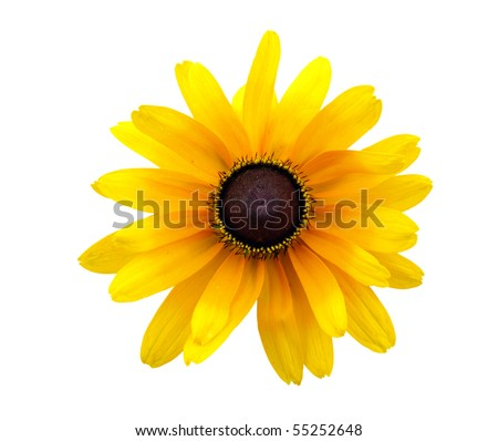 Black Eyed Susan isolated on white with clipping path included.