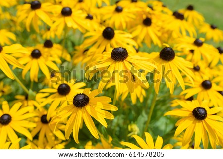 Black eyed susan- rudbeckia flowers
