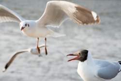 Black face seagull and flying white seagull