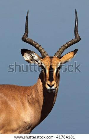 Black-faced impala in front of blue waterhole, Etosha NP, Namibia - stock photo