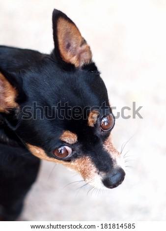 black fat lovely cute miniature pincher dog head shot close up