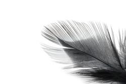 black feather texture on white background