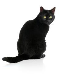 Black female cat sitting on white background