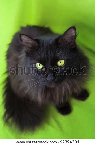 black fluffy cat on a green background
