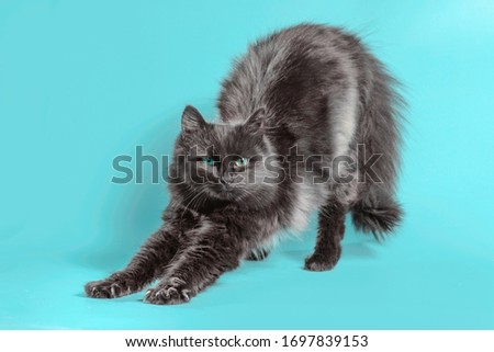 black fluffy cat stretches on a turquoise background Stock photo ©