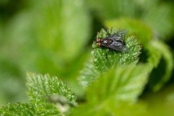 Black fly with red eyes on a green background. Unwanted domestic fly close up in natural environment. Small pest on the green leaves.