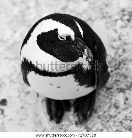Black-footed african penguin in close up from above