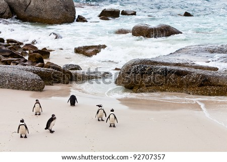 Black-footed african penguins walking on the boulders beach