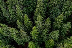 Black Forest aerial treetop view from a suspension bridge in Bad Wildbad Germany on a summer evening. European silver fir trees (Abies alba). Wide angle perspective.