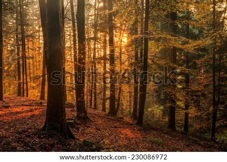 Stock Photo Black Forest in Germany. Orange Evening Sun shines through the golden foggy Woods. Magical Autumn Forrest. Colorful Fall Leaves. Romantic Background. Sunrays before Sunset