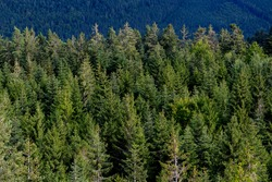 Black Forest panorama in Bad Wildbad Germany on a summer evening from oberservation tower with trees to the horizon. European silver fir trees (Abies alba), a fir native to the mountains of Europe.