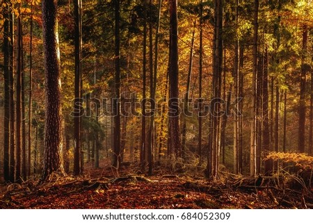 Black Forrest in Germany. Orange Evening Sun shines through the golden foggy forest Woods. Magical Autumn Forrest. Colorful Fall Leaves. Romantic Background. Sunrays before Sunset. Landscape format