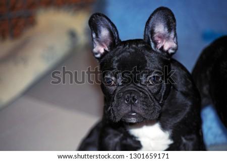 black french bulldog #1301659171