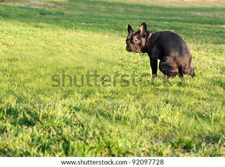 black  french bulldog have a bowel movement or ease nature on grass