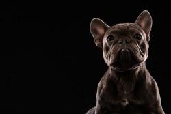 Black French Bulldog on black background