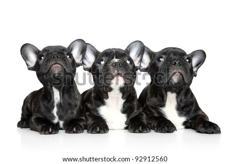 Black French bulldog puppies look up on a white background