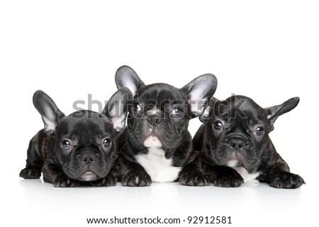 Black French bulldog puppies on a white background