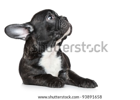 Black French bulldog puppy lying and looking up on a white background - stock photo