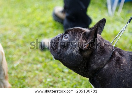 Black French bulldog smelling  dogs and people.