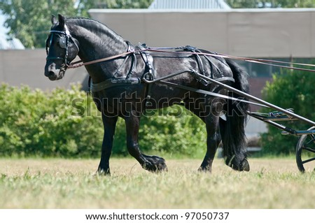 Black friesian horse carriage driving trotting on the meadow