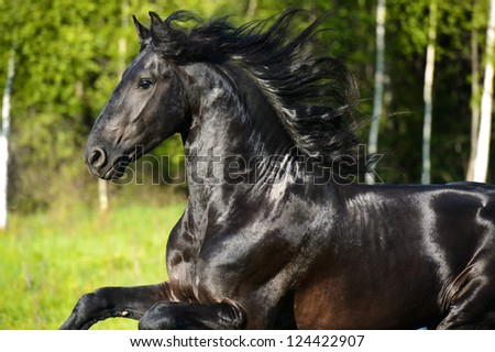 Black Friesian horse portrait with beautiful mane in motion