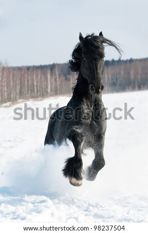 Black friesian horse runs front in the wintertime - stock photo