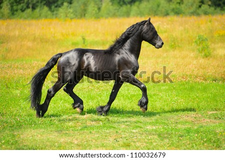 Black Friesian horse runs trot on the meadow