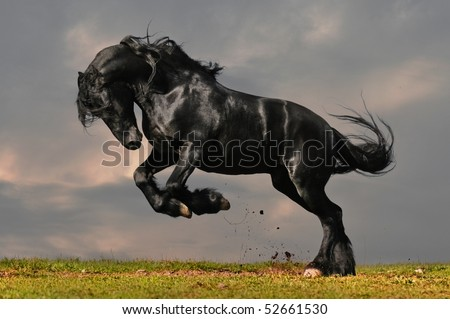 black friesian stallion gallop in sunset #52661530