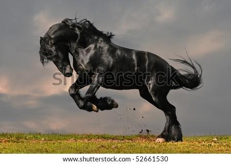 Friesian Horse Galloping Black Friesian Stallion Gallop