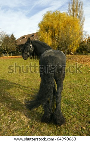 black friesian stallion in automn at campaign