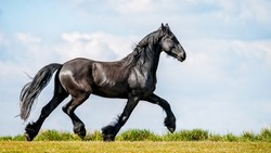 Black Frisian Horse in freedom