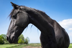 Black Frisian Horse seen from the front, the head is turned a little to the right. Blue sky