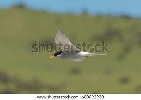 Black-fronted tern found in New Zealand.