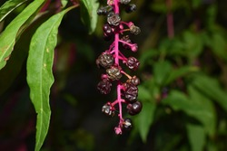 Black fruits of American pokeweed (Phytolacca americana)