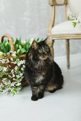 black furry cat on a background of tulips and Apple branches, with elements of a wicker basket on a light wall