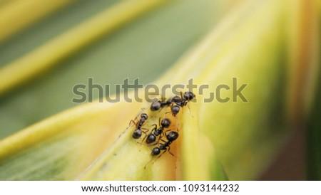 black garden ant in coconut...