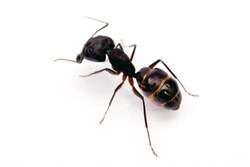 Black garden ant isolated on white