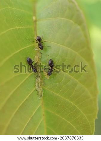 black garden ants and green apple aphids Zdjęcia stock ©