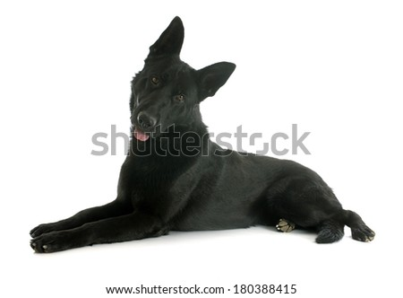 black german shepherd in front of white background #180388415