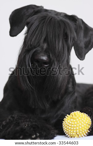 Black Giant Schnauzer with yellow ball