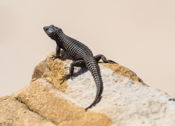 Black-girdled Lizard on a rock, Black Lizard at Cape of Good Hope, South Africa