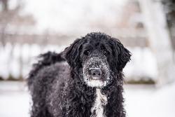 Black golden doodle dog in park in winter