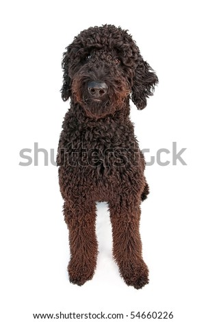 black goldendoodle puppy. Black Golden Doodle dog