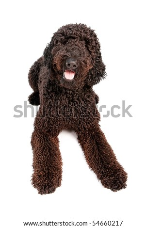 black goldendoodle dogs. Black Golden Doodle dog