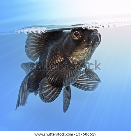 Black goldfish in the water