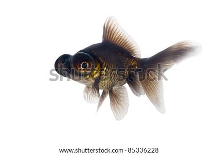 Black goldfish on a white background