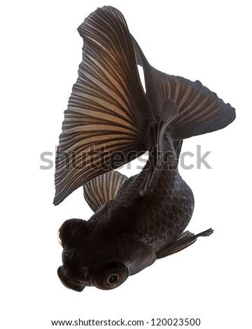 Black  Goldfish on White - stock photo