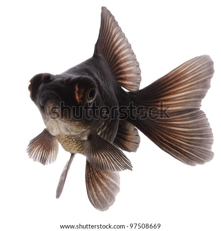 Black  Goldfish on White Without Shade