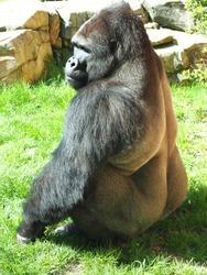 Black gorilla in green grass