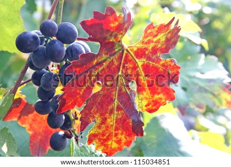 black grape cluster and a flaming red vine leaf in autumn